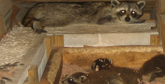 Humane Raccoon Removal Humane Raccoon Removal