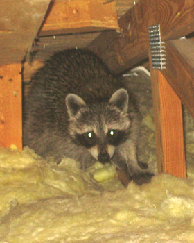 How To Get Rid Of Raccoons Yourself Humane Raccoon Removal